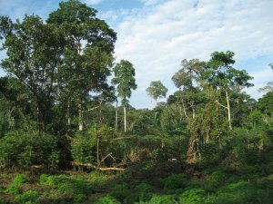3993805-jungle-outside-of-bangui-0